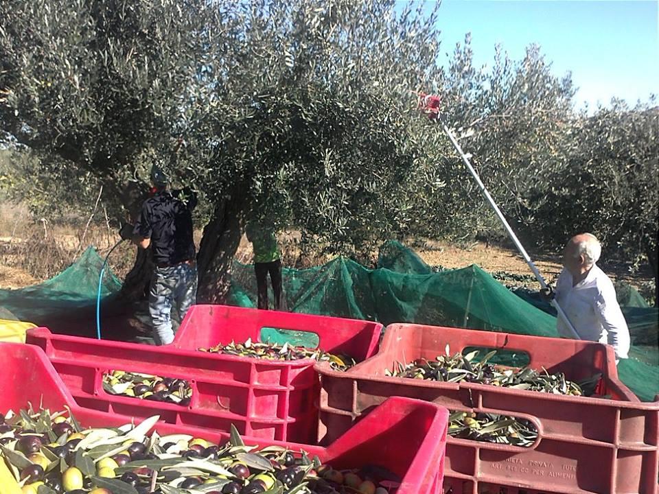 cavicioni-raccolta ulivo