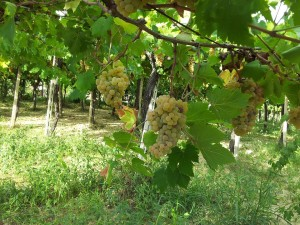 cavicioni -uva
