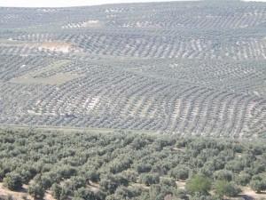 olivi spagna
