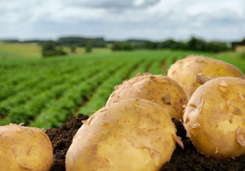 patate del fucino