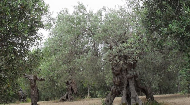 nonio olivicolo