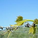 Le vigne de I Fauri
